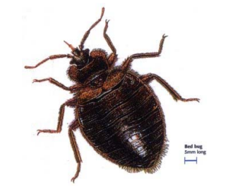 Enlarged image of bedbug