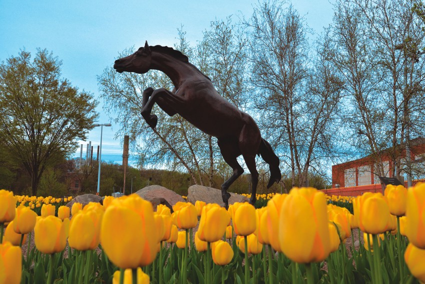 Bronco statue among patch of yellow tulips