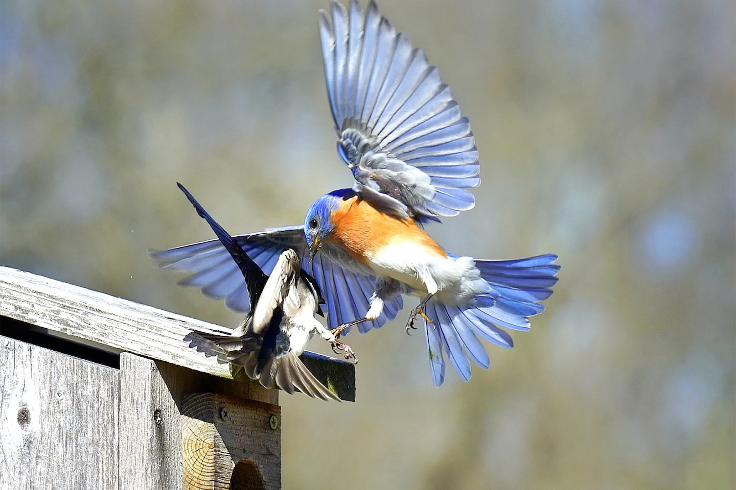 A bluebird defends its nest from a swallow at Asylum Lake Preserve.