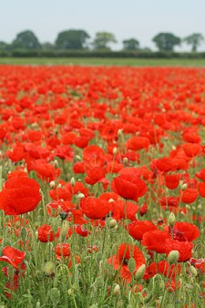 Photo of field of red poppies.