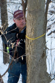 Photo of official measuring a dwarf hackberry tree.