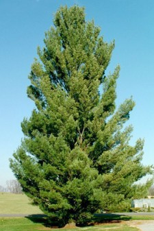 Photo of an Eastern White Pine tree.