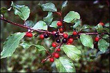 Photo of invasive glossy buckthorn.