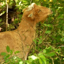 Photo of a goat chewing off leaves from a bush.