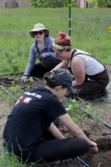 Three students planting a long row of tomatoes.