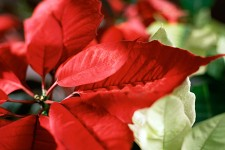 Photo of a poinsettia.