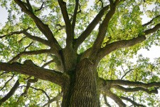 Photo of an oak tree.