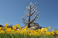 Photo of yellow tulips and a WMU sculpture.