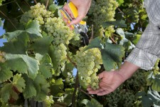 Closeup photo of hands cutting white grapes from vines.