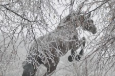 Photo of a statue of a Bronco in front of a snowy tree.