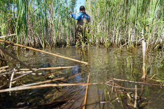Adam Austin wades through water and brushes aside tall grass in a wetland habitat.
