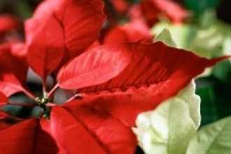 Photo of a poinsettia plant.