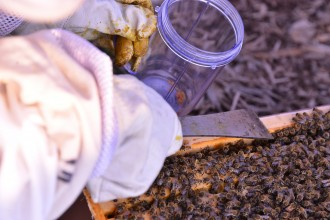 Photo of a beekeeper harvesting propolis.