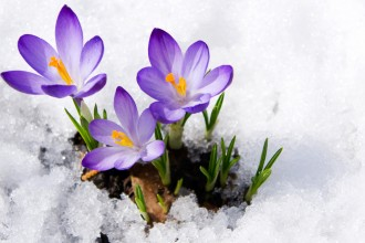 Photo of crocuses growing out of snow.