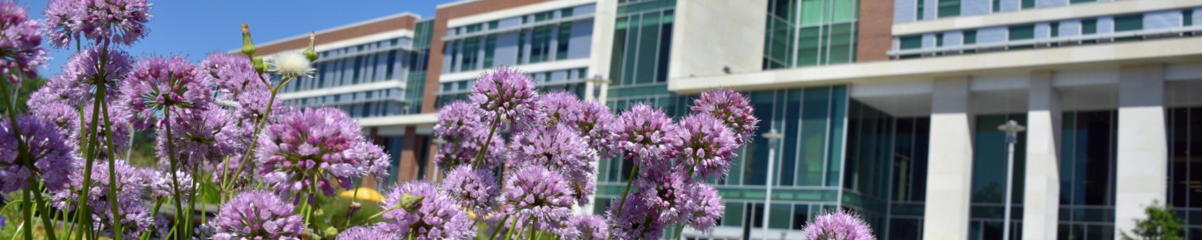 This image displays close-up clusters of purple flowers in front of Sangren Hall on the campus of Western Michigan University.