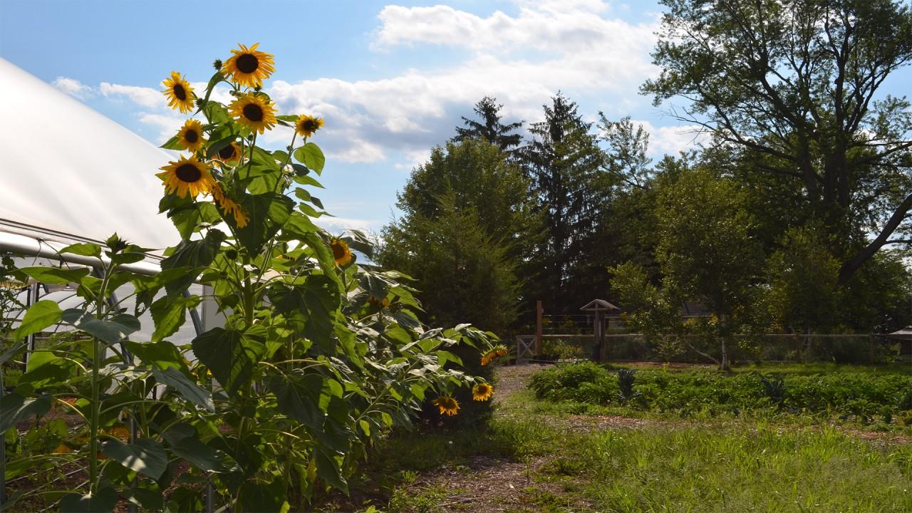 Gibbs House Sunflowers in bloom