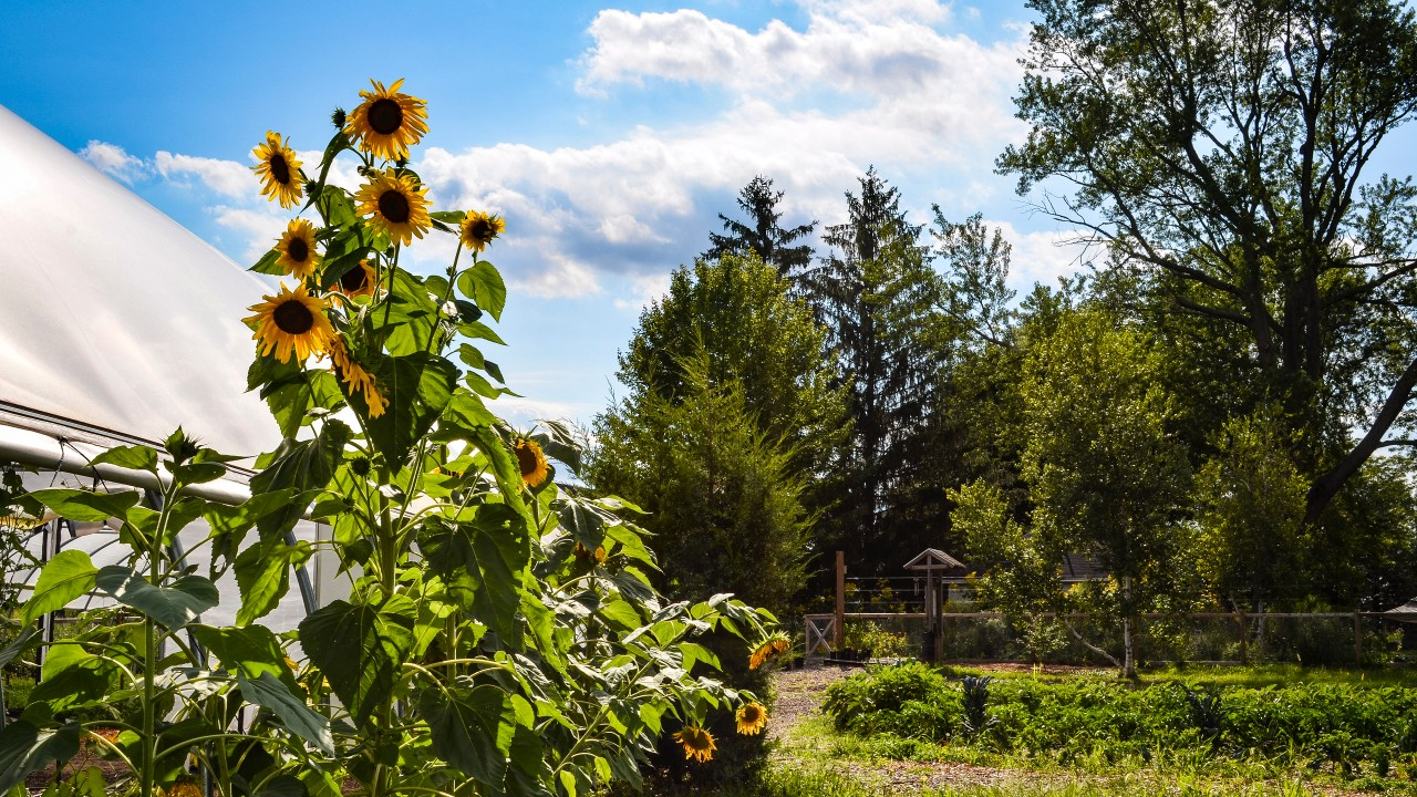 Landscape shot of Gibbs site on a sunny day with sunflowers in bloom.