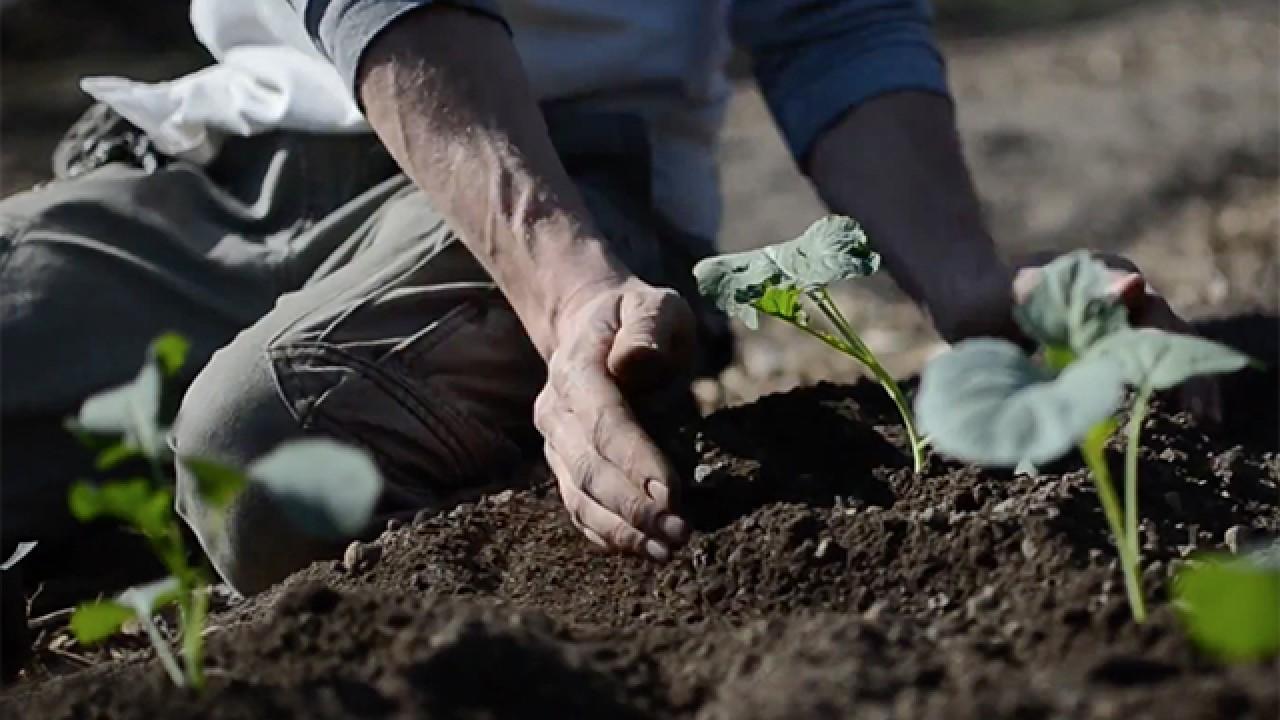 Gibbs planting