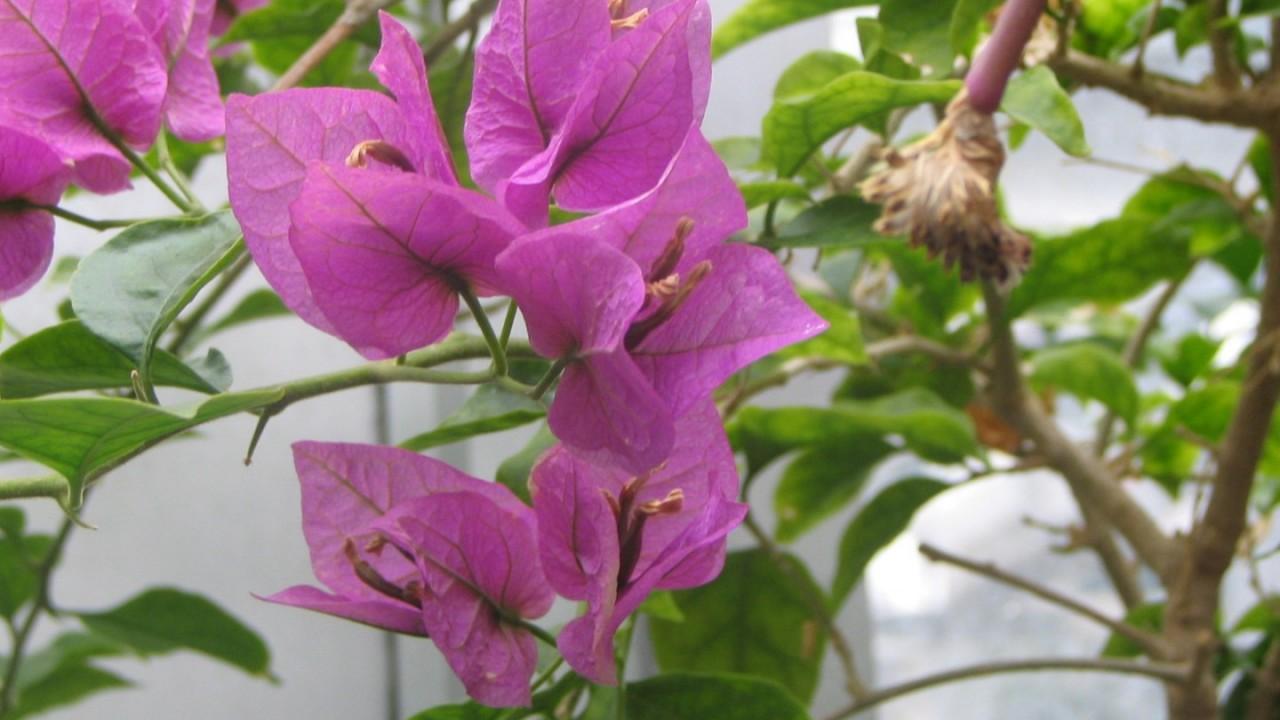 Flowering vine.