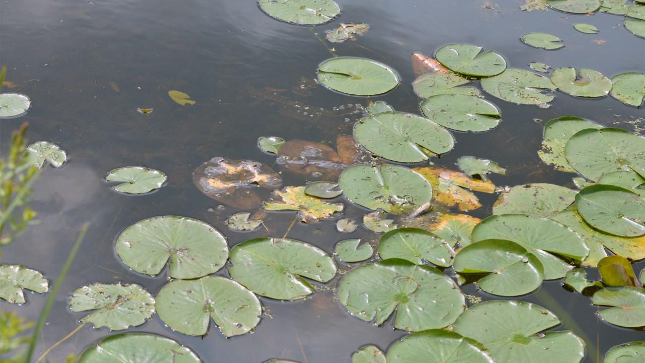 Lily pads at Asylum Lake