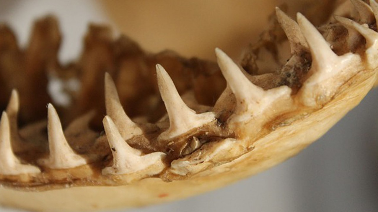 A shark jaw is pictured