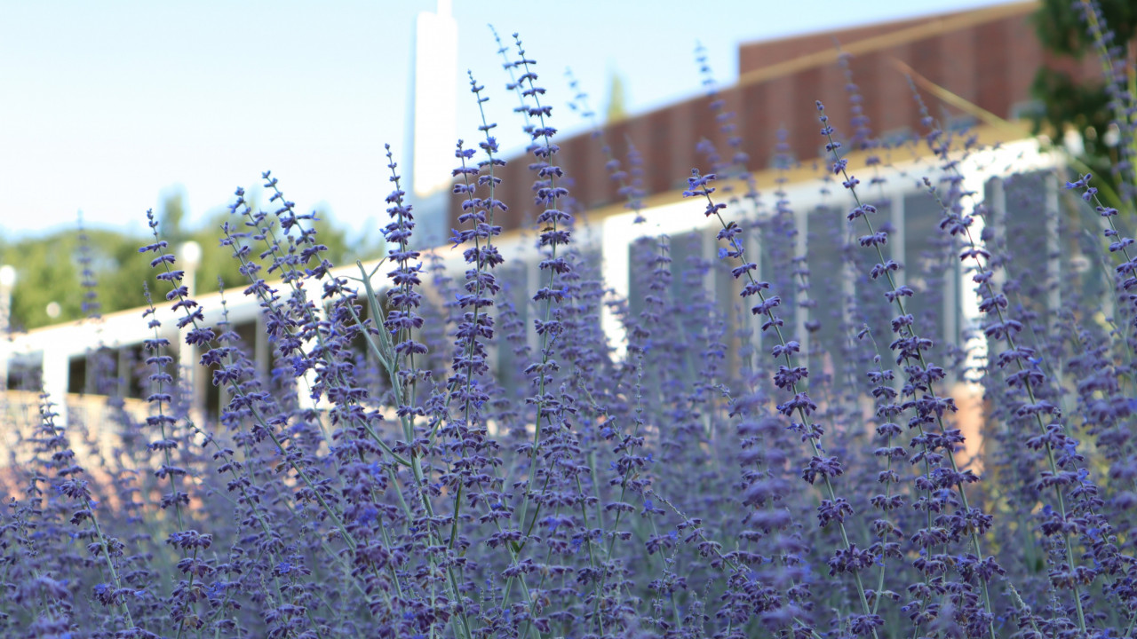 Lavender fills the bottom half of the photograph with a building blurred in the background