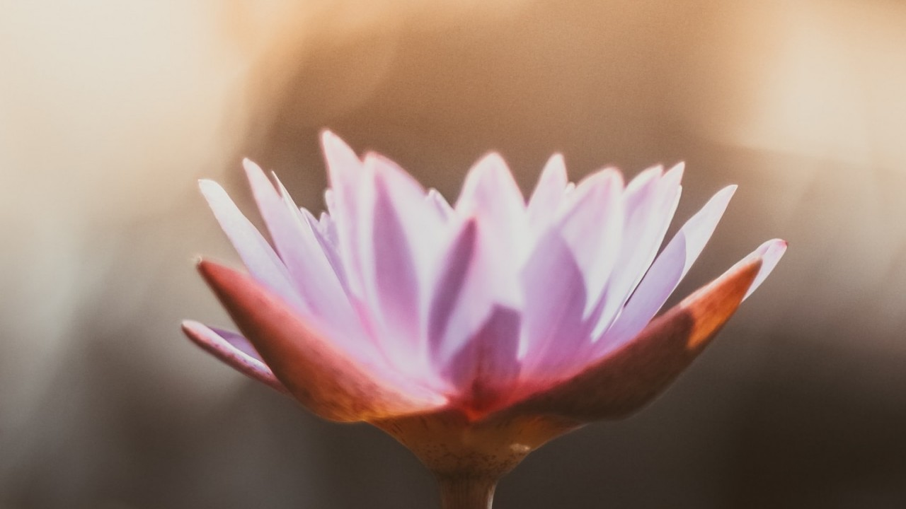 Image of a lotus flower with a peach and green background