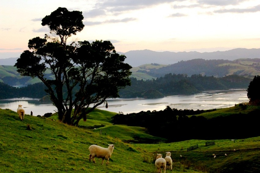 Sheep in North Island, New Zealand.