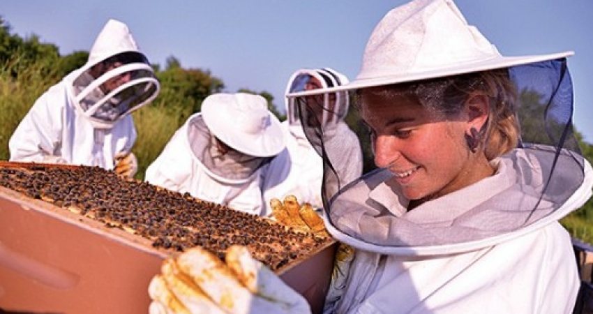 Woman in beekeeper suit and helmet looking over an active bee tray.