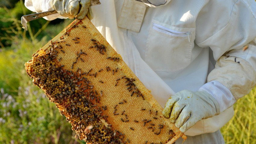 Photo of a beekeeper holding a hive frame.