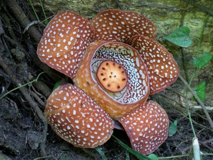 Photo of Rafflesia