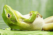 A bright green frog relaxes on its back on a lilly pad.
